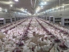 Рефтинский фото - Курицы Рефтинской птицефабрики