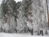 Рефтинский фото - Зимний лес, Школа№6