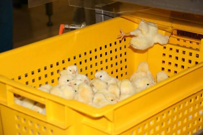 Экскурсия на птицефабрику